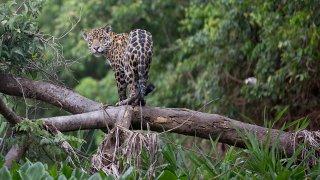 Pantanal, à la recherche du jaguar